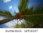 Small photo of Nice palmtree with cocnut and aglare blue sky with a clouds