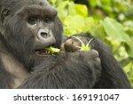 Mountain Gorillas  Gorilla...