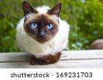 Siamese Cat Warily Watching ...
