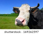 head of a cow against a pasture | Shutterstock . vector #169262597