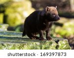Bush Dog Perched On The Edge O...