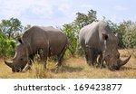 African Black Rhinoceroses ...