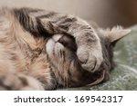 Cute Sleeping Gray Domestic Ca...