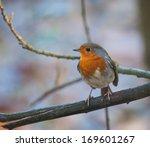 robin on a branch | Shutterstock . vector #169601267