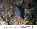 Electric Eel In Adriatic Sea