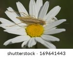 Small photo of Weinhaehnchen, Oecanthus pellucens, Germany