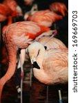 flamingos | Shutterstock . vector #169669703