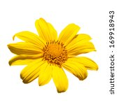 Mexican Sunflower Isolated On...