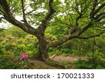 An Old  Gnarly Beech Tree Alon...