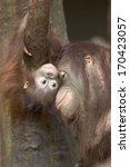 pongo pygmaeus  orang utang ... | Shutterstock . vector #170423057