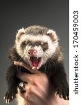 polecat on gray background | Shutterstock . vector #170459003