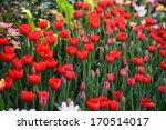 beautiful tulip flowers in the...   Shutterstock . vector #170514017