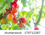 Cherry Tomato On The Vine