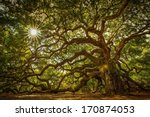angel oak tree on john's island ... | Shutterstock . vector #170874053