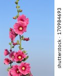 Small photo of Pink hollyhock (Althaea rosea) flower blossoms