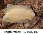 molting cockroach   blaberus sp. | Shutterstock . vector #171009107
