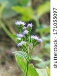 Small photo of Ageratum conyzoides L.