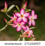 Impala Lily Or Desert Rose...