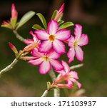 Impala Lily Or Desert Rose...