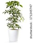 Potted Plant   Aralia