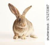 rabbit on white background | Shutterstock . vector #171272387