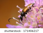 Small photo of Corymbia maculicornis longhorn beetle
