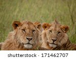 lion | Shutterstock . vector #171462707