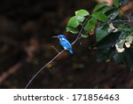Small photo of Small Blue Kingfisher or Cerulean Kingfisher (Alcedo coerulescens) in Bari Island,Indonesia