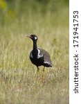 Small photo of A Southern Black Korhaan or Bustard (Afrotis afra) against a blurred natural green grass background in the West Coast National Park, South Africa