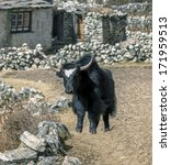 Small photo of Yak caravan near Dusa village - Everest region, Nepal, Himalayas