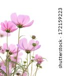 Cosmos Flowers Isolated On White