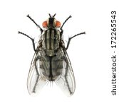 Small photo of The House Fly ( Musca domestica ) dangerous carrier of pathogens.
