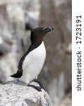 Small photo of Razorbill, Alca torda, standing on cliff top, Farne Islands, late May, UK.