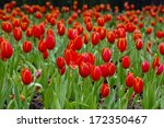 colorful field of tulips   Shutterstock . vector #172350467