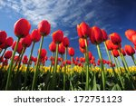Tulip Flower With Blue Sky Fro...