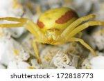 Crab Spider  Misumena Vatia On...