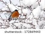 American Robin Perched In Snow...