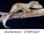 Mossy Leaf Tailed Gecko  ...