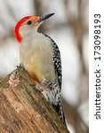 Red Bellied Woodpecker Perched...
