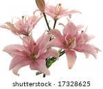 pink lilies on white | Shutterstock . vector #17328625