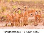 herd of newborn baby impala   Shutterstock . vector #173344253