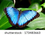 Common Blue Morpho Butterfly...