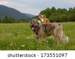 Young Chihuahua Dog With...