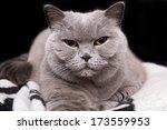 Sleepy Grey British Cat On...