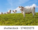 White Cows In The Green Field