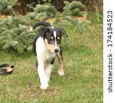 puppy of collie smooth moving... | Shutterstock . vector #174184523
