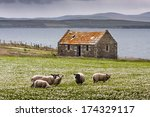 Sheep On The Isle Of Skye In...