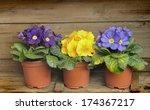 Three Small Pots Of Primroses...