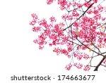 wild himalayan cherry spring... | Shutterstock . vector #174663677