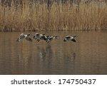 Flock Of Canada Geese Landing...
